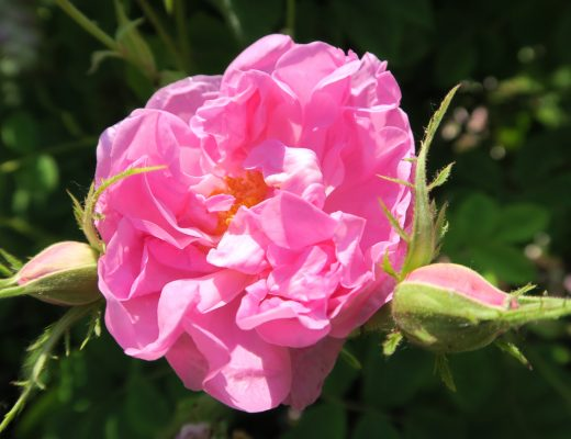 Damazener Rose